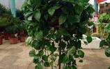 用園土養綠蘿非常不好,估計很多新手花友還不知道吧