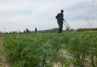新疆焉耆縣2.5萬畝小茴香長勢喜人