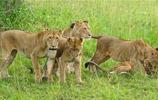 獅群圍毆豹子,可憐豹子就這樣命喪黃泉!