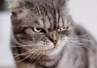 賣萌貓可憐貓見怪不怪了 看看這隻凶貓算得上表情貓裡的代表了