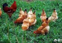 農村養殖土雞,用什麼方法能夠保證土雞的存活率?