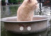 雨災來襲淹了家,主人急中生智讓貓咪逃生,喵:朕的江山只剩江了