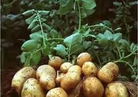 種植馬鈴薯覆蓋地膜,是否提高土壤溫度?促進馬鈴薯生長髮育增產?