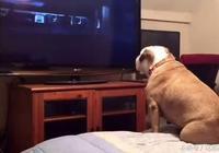 狗狗愛看恐怖片,它好像還真看懂了,看到精彩部分還會這樣