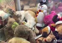 橘貓躺在娃娃機裡休息,引得路人瘋狂抓貓!網友:這下老闆賺大了