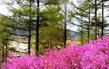 """在""""中國最冷小鎮""""呼中區,有這樣一種燦爛明豔的花"""
