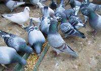 鴿子怎麼殺是正確的 鴿子的營養價值