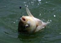 看魚星找魚窩,看魚星判魚種,看好魚星釣大魚