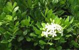 永不黃的植物,萬年青