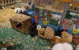 長毛兔的養殖月入過萬,村裡的致富能手密不外傳的絕招!