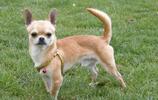 動物圖集:吉娃娃犬