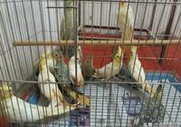 普通寵物鸚鵡玄鳳常見有哪幾種,不要再浪費錢去驗性別卡了