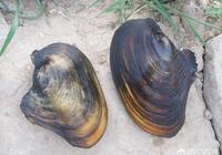 農村的河溝曾經有很多河蚌,能吃嗎?現在為什麼都沒有了?