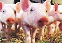 非洲豬瘟發生,為什麼農村養的豬沒有,這4點只有農村才能做到