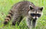 動物圖集:可愛的浣熊