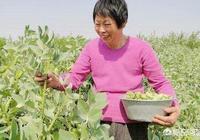 新鮮蠶豆怎樣燒好吃?