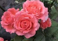 """在春季,月季、三角梅喜歡""""它"""",花盆裡""""扔1點"""",花期變長!"""