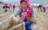 雲南香格里拉:中藥材產業助力脫貧增收