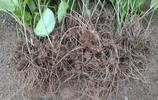 農村深山挖既能吃又能做中草藥的野生蒼朮,一天只收獲幾十顆!