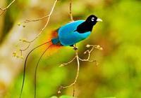 最美麗的鳥綱動物~天堂鳥