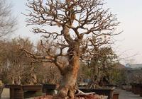 盆栽盆景——白蠟盆景的取材與培育