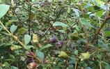正值炎夏,家鄉的山上這種野果開始成熟了,大多農村人都吃過,是童年慢慢的回憶