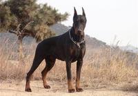 世界上最凶猛的犬之杜賓犬
