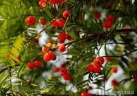 """紅豆杉換盆土,把控好這""""3點"""",20天后生長加快,新芽長滿枝"""
