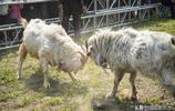 羊王爭霸賽中山羊搏鬥激烈,網友感慨:原來看似溫順的山羊也剛烈