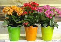 養長壽花,掌握關鍵一點,一年開花5個月!