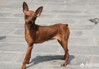 小鹿犬洗了耳蟎第二天又長,第二天又髒了為什麼?
