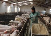 雲南一位小村民靠養豬脫穎而出,帶動了10餘名婦女致富