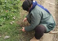 農村春天遍地都是的一種美味野菜,城市裡30元一斤,農民當飯吃