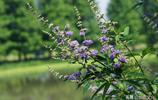 穗花牡荊,夏季的開花機器