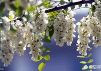 農村的槐花有幾種?都能吃嗎?該怎樣去鑑別?