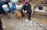 """農村大娘賣1歲""""天價""""柴犬,要價1200元,大娘:尾巴出類拔萃"""