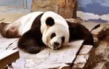 萌萌噠的熊貓