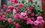 一入夏月季就枯黃、不開花?掌握這4點很關鍵,做好後花豔麗又大朵、還能月月開
