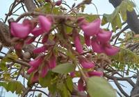 路邊嫁接的紫槐花開了,能吃嗎?與洋槐有什麼不同?