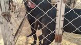 展示幾條犬舍的當家黑狼種犬,體重高達150斤重量級犬種