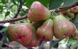 脆脆的水果——洋蒲桃