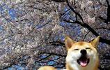 超會賣萌拍照的柴犬,鏡頭感十足,這小可愛範走起~