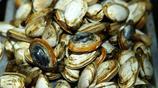 這些另類海鮮不常見 只能碰運氣買到  10元一斤 大毛蛤才5元一斤