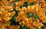花卉圖集:若詩潔蕊的寶巾花