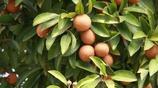 """這些水果堪稱""""寶物"""",能抗癌,市場很難見,種家裡全家都能分享"""