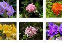 養死杜鵑花的四大原因,怪不得你的杜鵑花老是死