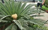 它是植物界最傲嬌的一種樹,號稱花開需千年,見到有花時多看幾眼