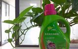 用這3種水澆綠蘿,綠蘿1年之內爬牆3米,綠蘿牛人都點贊