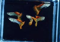 孔雀魚越養越多怎麼辦?