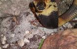 動物圖集:埃及眼鏡蛇